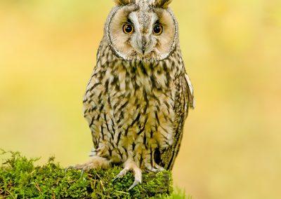 Log eared Owl 8