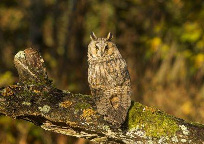 Log eared Owl 7