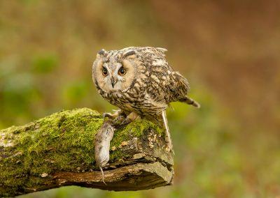 Log eared Owl 6
