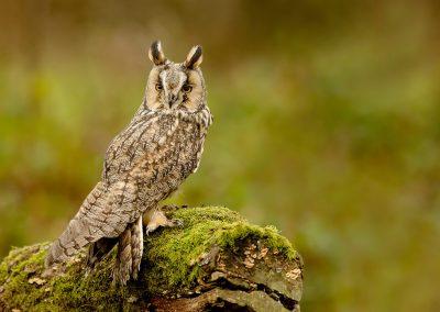 Log eared Owl 5