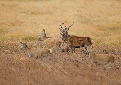1200 red deer AF2T0056