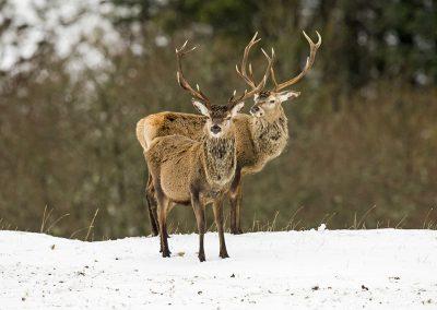 1200 red deer BI4X0241