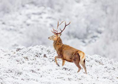 1200 red deer _I4X4372