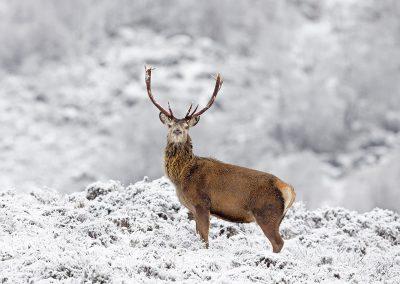 1200 red deer _I4X4407