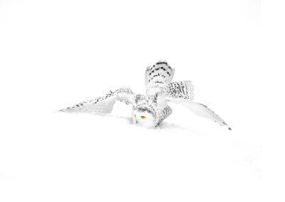 1200 snowy Owl mono _I4X8216