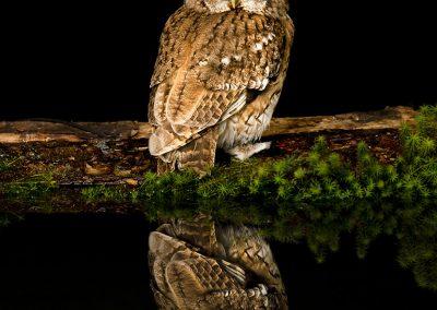 Tawny Owl Reflection 1