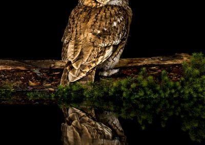 Tawny Owl Reflection 4