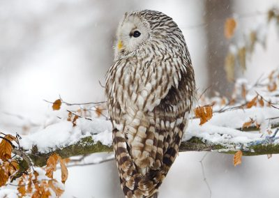 1200 ural owl T4896x3264-16516