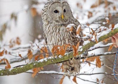 1200 ural owl T4896x3264-16584