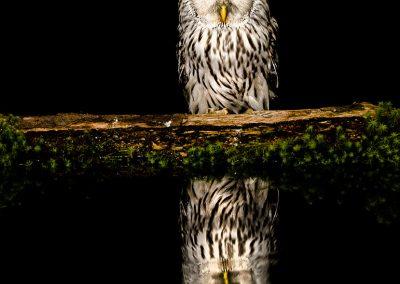 1200 ural owl _F2T6844