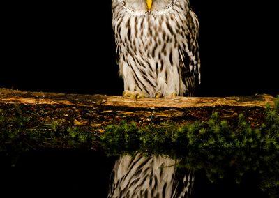 1200 ural owl _F2T6860