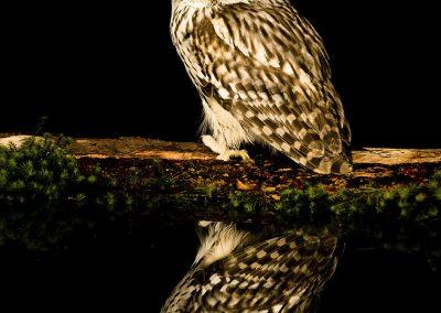 1200 ural owl _F2T6874