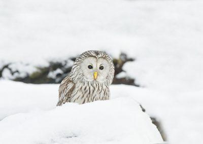 1200 ural owl _I4X8431
