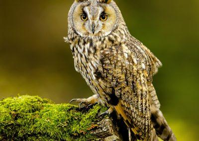 Log eared Owl 4
