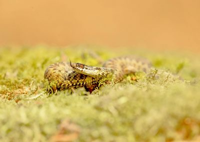 Female Adder 3
