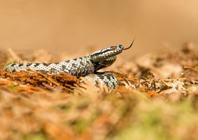 Female Adder 1