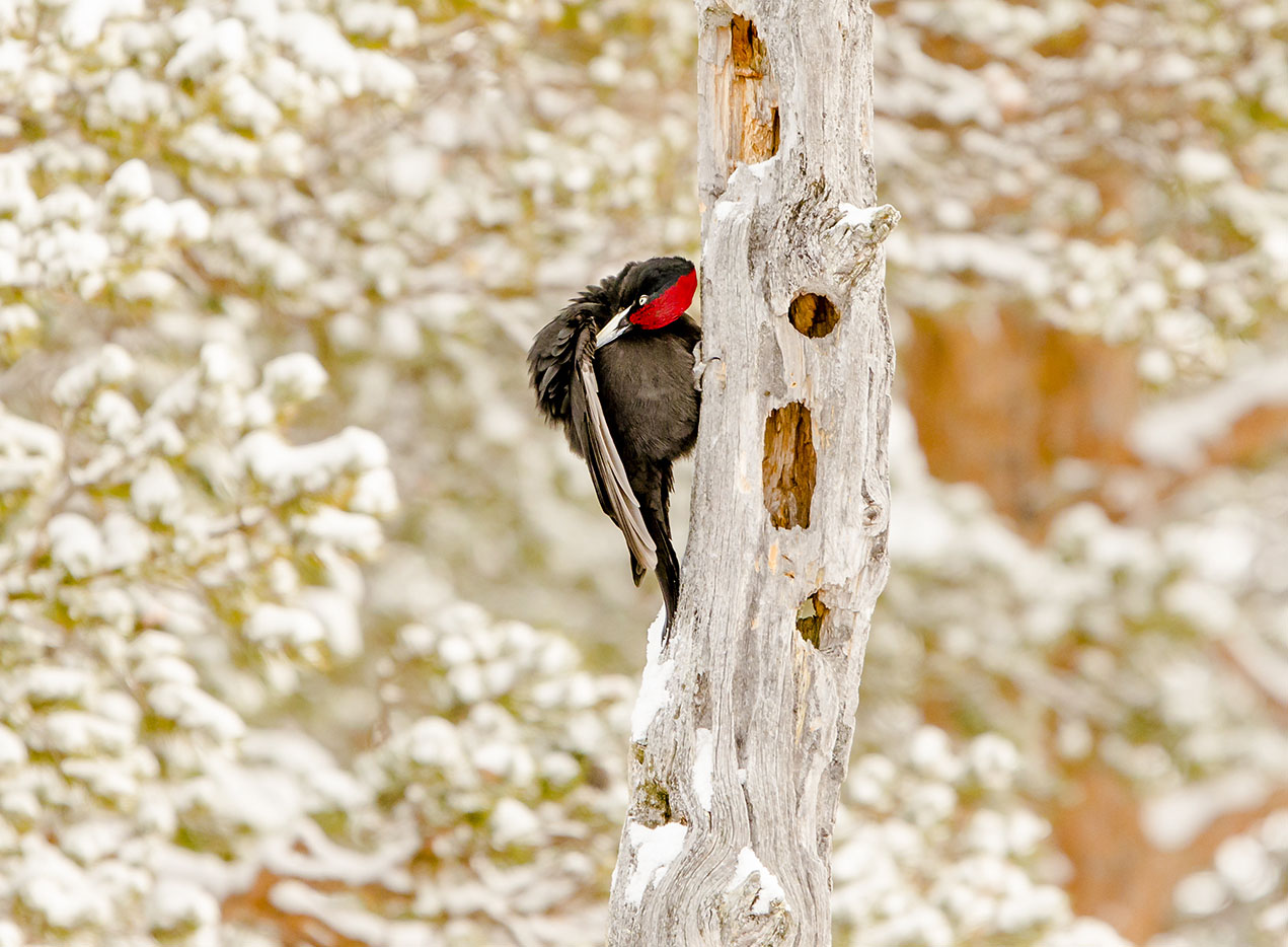 Black Woodpecker 1