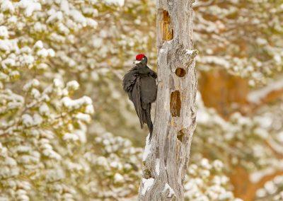Black Woodpecker 2