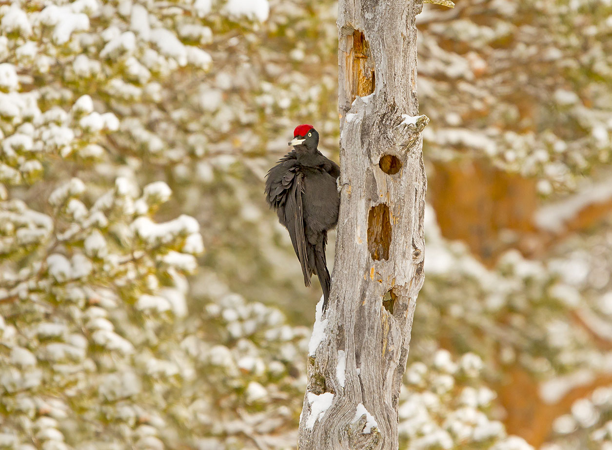 Black Woodpecker 2