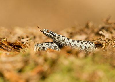 Male adder 5