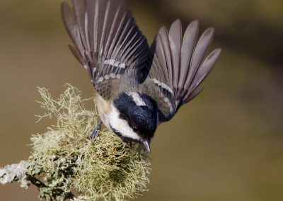 1440 cropped coal tit flight xx BN3Z7645