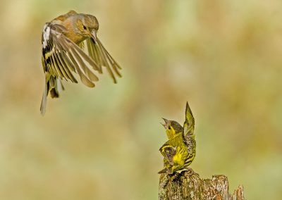 Siskin fighting chaffinch