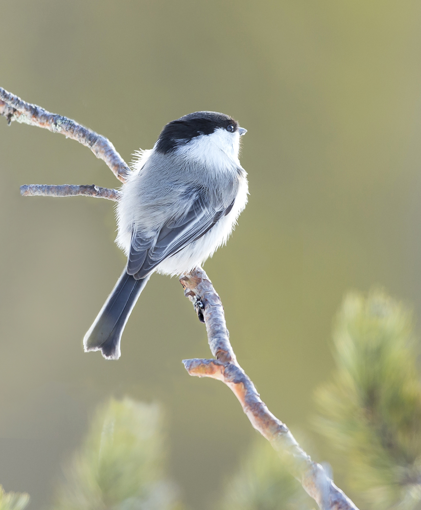 Willow Tit 2