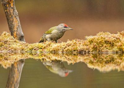 Gray Headed Woodpecker 3