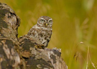 1440 little owl AF2T2132