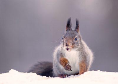 1440 red squirrel AF2T4363