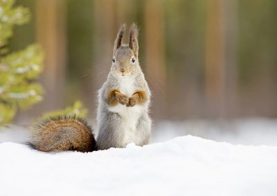 1440 red squirrel BI4X8419