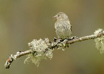 Female siskin singing