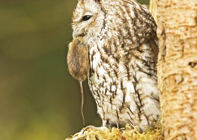 Tawny Owl with mouse