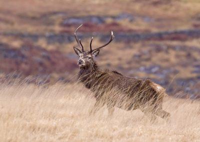 1555 red deer stag