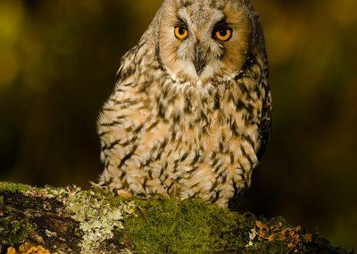 Log eared Owl 14