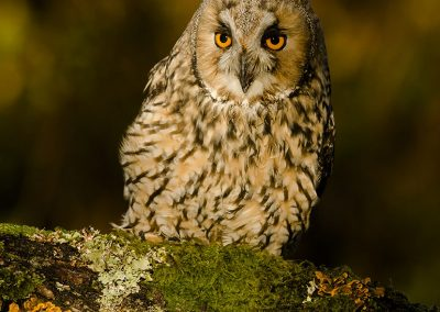 Long-eared Owl 2