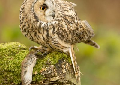 Long-eared Owl 1