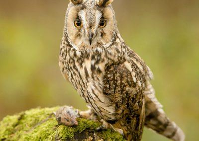 Log eared Owl 12