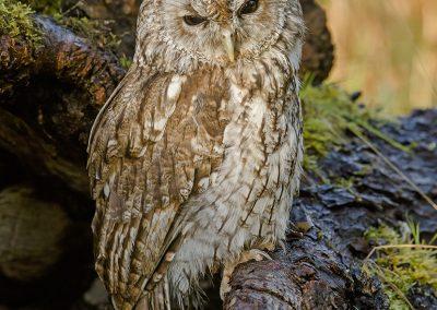 Tawney Owl 4