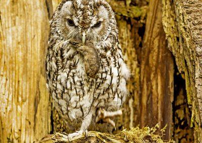 Tawney Owl 1