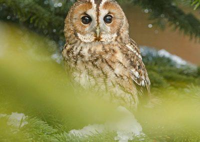 Tawney Owl 3