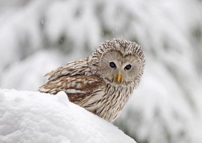 a 1200 ural owl