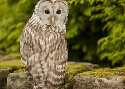 Ural Owl 3