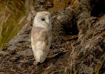 barn owl AF2T2495