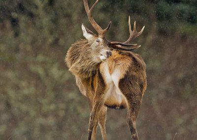 cropped red deer AF2T7535