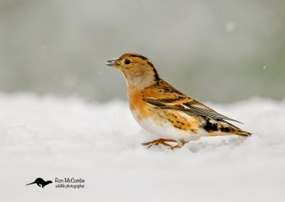 1200 cropped brambling _F2T9891