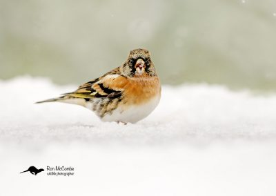 1200 cropped brambling _F2T9958