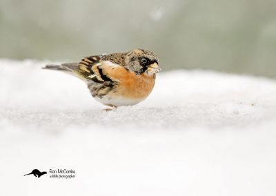 1200 cropped brambling _F2T9970