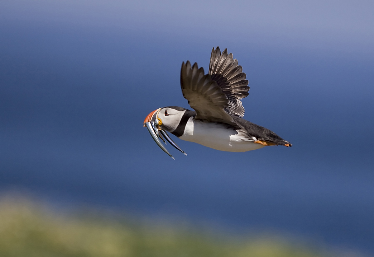 1200 flying puffinIMG_3315