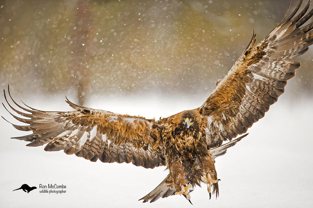 Golden Eagle Swden